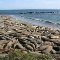 56 Seals near Hearst Castle.jpg