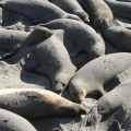 57 Seals near Hearst Castle.jpg