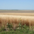 Wheat field in Nebraska